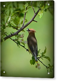Cedar Wax Wing Acrylic Print by Carol Norman