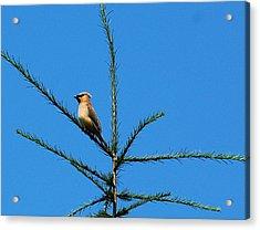 Cedar Wax Wing Acrylic Print