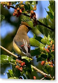 Acrylic Print featuring the photograph Cedar Waxwing Dsb056 by Gerry Gantt