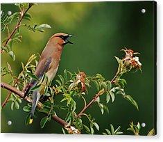 Cedar Waxwing Acrylic Print by Jim Boardman