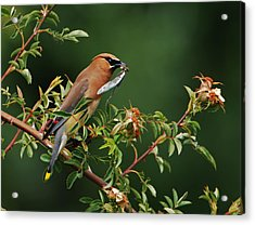 Acrylic Print featuring the photograph Cedar Waxwing With A Bug by Jim Boardman