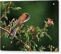 Cedar Waxwing With A Bug Acrylic Print by Jim Boardman