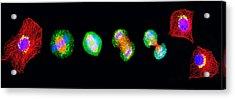 Cell Mitosis Acrylic Print by Thomas Deerinck, Ncmir