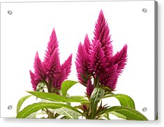 Celosia Argentea Acrylic Print