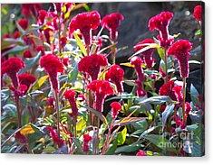 Celosia Cristata Acrylic Print