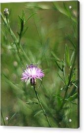Centaurea Maculosa Spotted Knapweed Acrylic Print by Rebecca Sherman