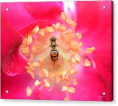 Acrylic Print featuring the photograph Centerpiece Bee In A Rose by George Bostian