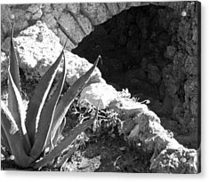 Century Plant By Jogging Trail Acrylic Print by Louis Nugent
