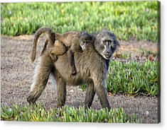 Chacma Baboon Mother And Young Acrylic Print by Peter Chadwick