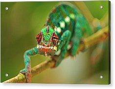 Chameleon Acrylic Print by Picture by Tambako the Jaguar