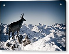 Chamois Watching Over Austria Acrylic Print by RICOWde