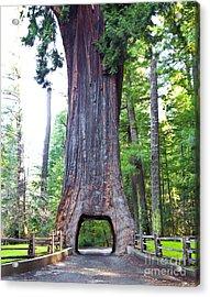 Chandelier Drive Thru Redwood Tree Acrylic Print by David Buffington
