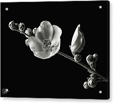 Acrylic Print featuring the photograph Chaparral Mallow In Black And White by Endre Balogh