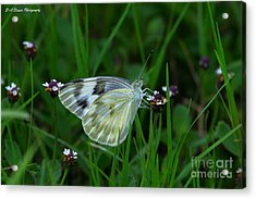 Checkered White Butterfly Acrylic Print by Barbara Bowen