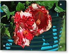 Cheery Cherry Appaloosa Acrylic Print by Lynn Bauer