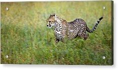Cheetah Acinonyx Jubatus, Running Acrylic Print by Carson Ganci