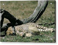 Cheetah Cub Sleeping And Guarding Hat Acrylic Print by Greg Dimijian