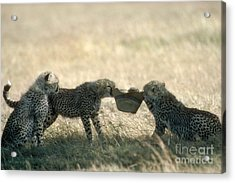 Cheetah Cubs Play With Hat Acrylic Print by Greg Dimijian