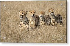 Cheetah Family Acrylic Print by Mareko Marciniak