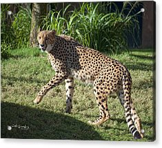 Cheetah Looking Acrylic Print