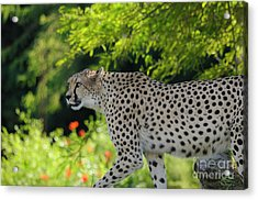 Cheetah Acrylic Print by Marc Bittan
