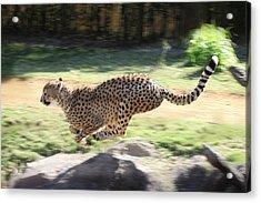 Cheetah Sprint Acrylic Print by Joseph G Holland