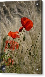 Chelsea Poppies I Acrylic Print by Dickon Thompson