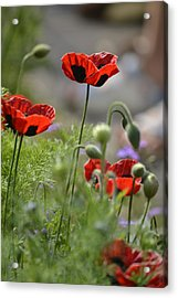 Chelsea Poppies II Acrylic Print by Dickon Thompson