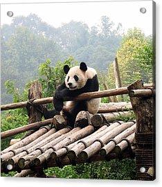 Chengdu Panda Acrylic Print by Carla Parris