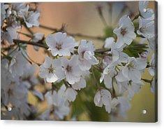 Cherry Blossom 4 Acrylic Print by Lisa Missenda