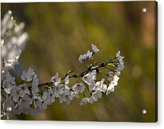 Cherry Blossom Branch Acrylic Print by Lisa Missenda