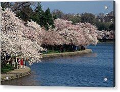 Cherry Blossom Festival, Jefferson Acrylic Print by Richard Nowitz