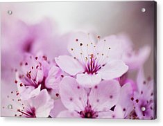 Cherry Blossom Glow Acrylic Print by Images by Christina Kilgour