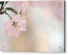 Cherry Blossom Acrylic Print by Images by Christina Kilgour