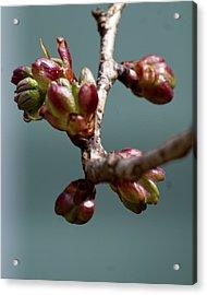 Cherry Blossom Number 4 Acrylic Print