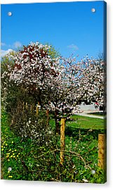 Cherry Blossom Acrylic Print by Peter Jenkins