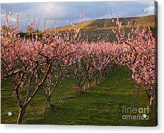 Cherry Blossom Pink Acrylic Print by Mike  Dawson