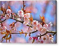 Cherry Blossom Acrylic Print by T. Kurachi