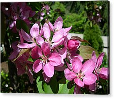 Cherry Blossoms Acrylic Print by Claude McCoy