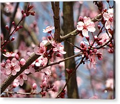 Cherry Blossoms Acrylic Print by Denise Keegan Frawley