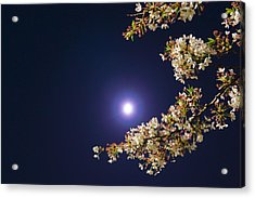 Cherry Blossoms Acrylic Print by GLIDEi7
