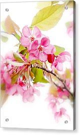 Cherry Blossoms Acrylic Print by HD Connelly