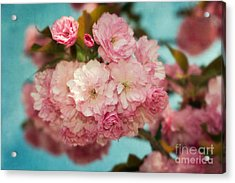 Cherry Blossoms Kanzan Three Acrylic Print by Susan Isakson