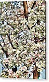 Cherry Blossoms Washington Dc 2 Acrylic Print by Metro DC Photography