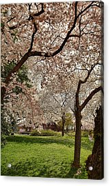 Cherry Blossoms Washington Dc 5 Acrylic Print