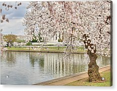 Cherry Blossoms Washington Dc 6 Acrylic Print by Metro DC Photography