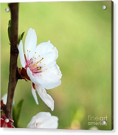 Cherry In Green Acrylic Print