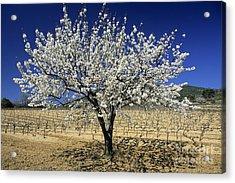 Cherry Tree Acrylic Print by Bernard Jaubert