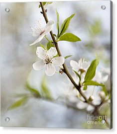 Cherry Tree Blossom Acrylic Print