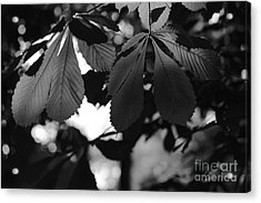 Chestnut Leaves Acrylic Print